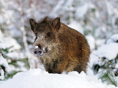 Wildschwein_Photohunter-Fotolia_com