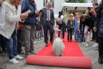 Ein Minischwein rollt den roten Teppich aus