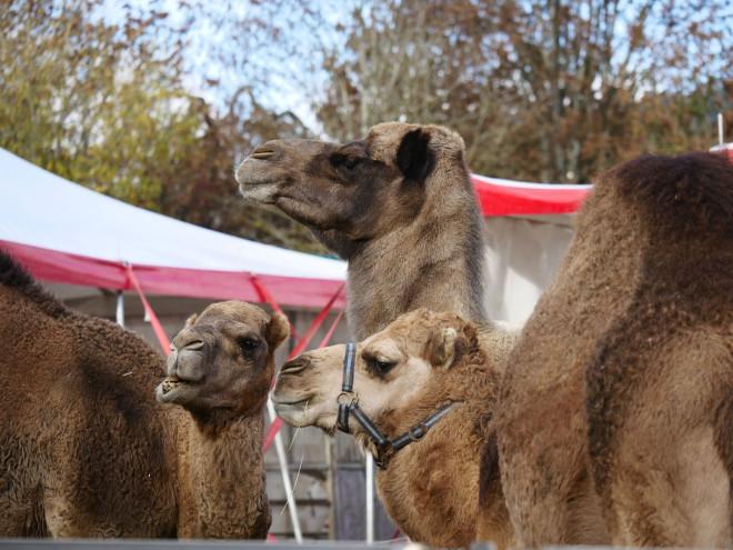 Kamele stehen vor einem Zirkuszelt
